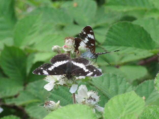 Black and White Butterfly with open wings nectaring on bramble