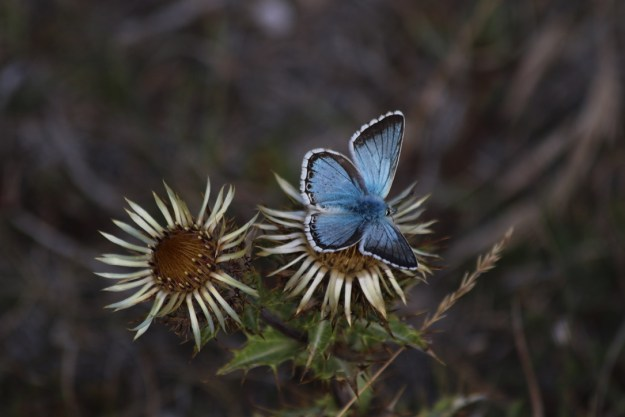 Blue butterfly with dark grey around fore-wings on a daisy