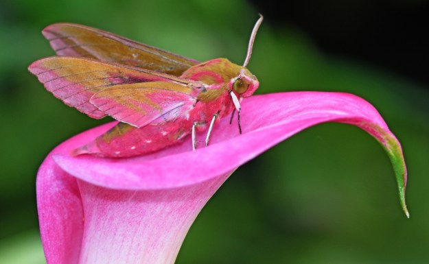 Pink and Gild hawkmoth on a matching pink Lily