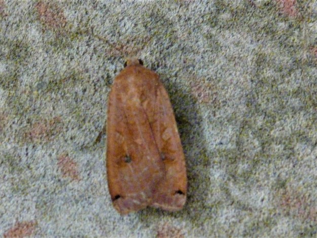 Large brown moth showing yellow underwings when in flight