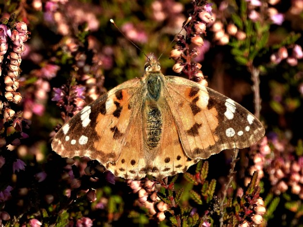 View of an orange butterfly on heather