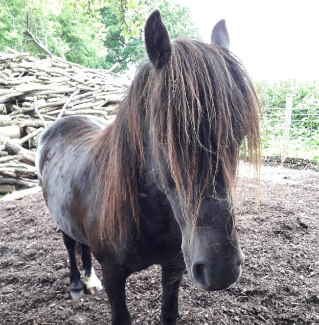 Pony with long mane hanging down over her face