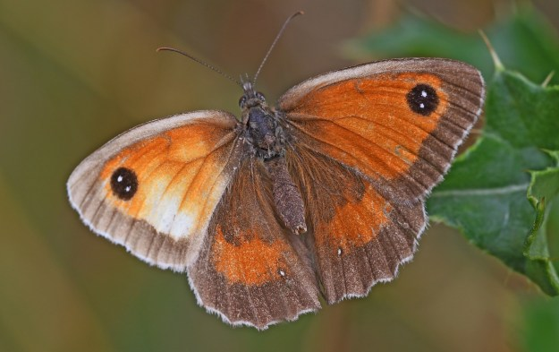 View of Orange and Brown butterfly with some unusual white markings