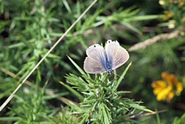 View of blue and silvery grey butterfly on gorse