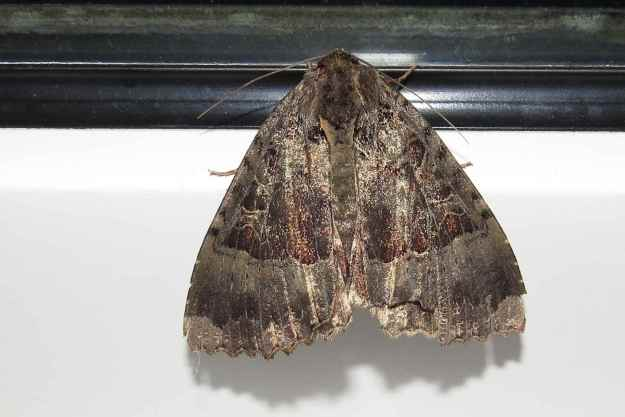 Large Brown highly patterned moth resting on a window