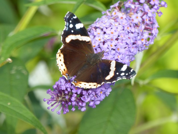 View of black and white butterfly on Buddleia plant