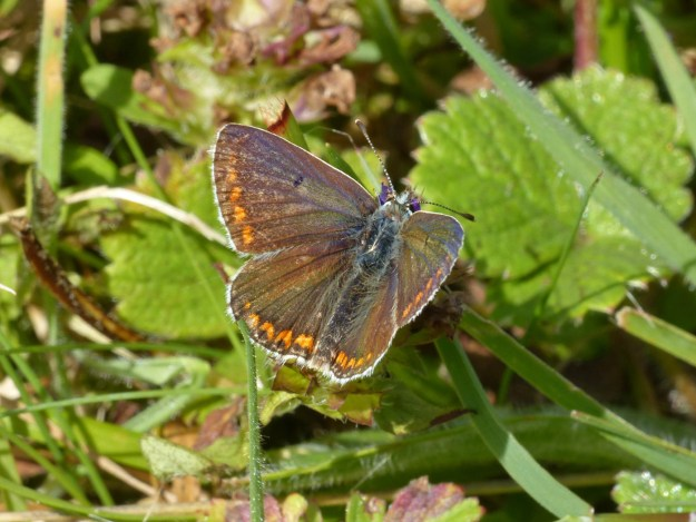 View of brown butterfly with orange spots near the edges of it's wings