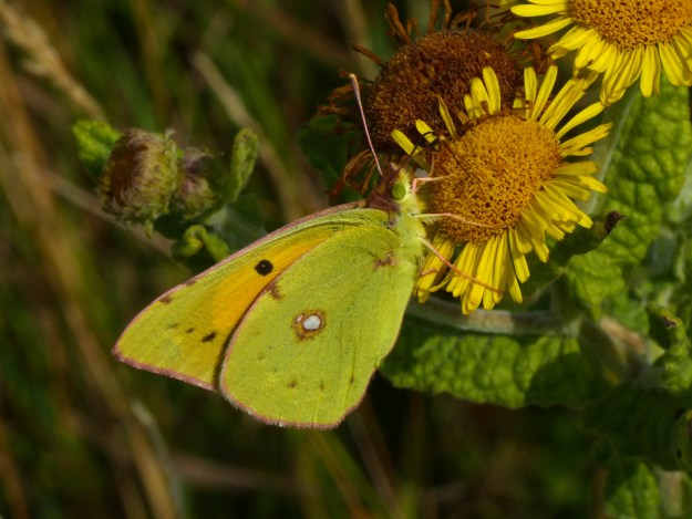 View of yellow butterfly on yellow flower