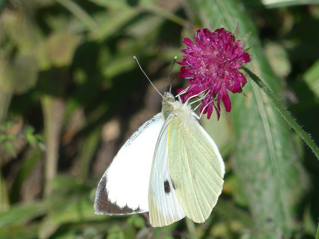 View of Large White butterfly on purple flower