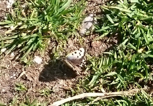 View of white and black/brown butterfly on the ground