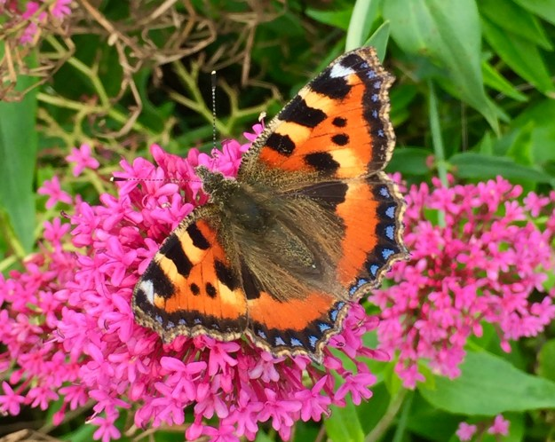 View of an orange and black butterfly with some yellow and blue markings nectaring on a deep pink Buddleia flower