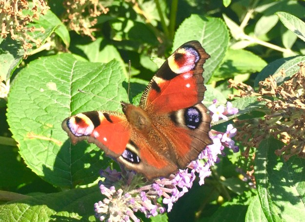 View of red and black butterfly with 4 eye-spot markings nectaring on pink flower
