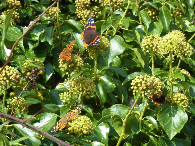 View of 3 different species of orange and black butterflies on green Ivy plant