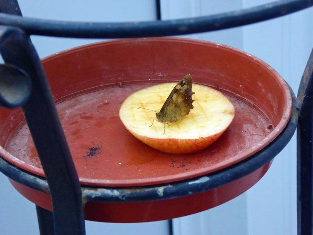 View of brown butterfly with wings closed resting on a slice of apple in a tan coloured dish.