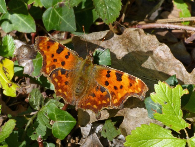 View of orange and brown butterfly with brown/black spots resting on green Ivy.