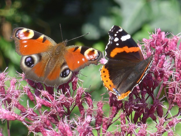 View of two butterflies on a pink flower - one orange and black and the other red with white and black eye spot markings.