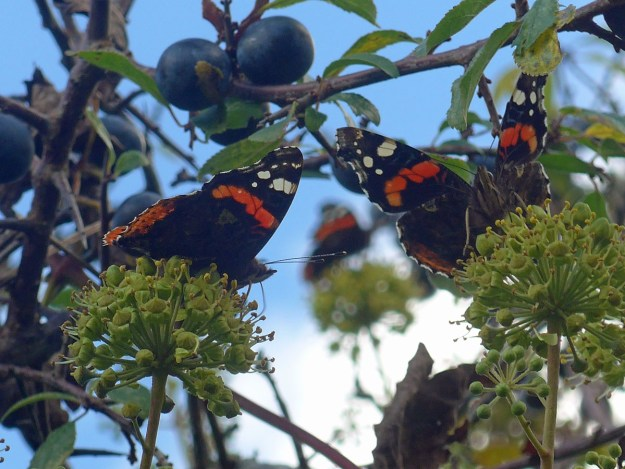 View of 3 black, reddish orange butterflies with some white markings all resting on the green flowers of an Ivy plant.