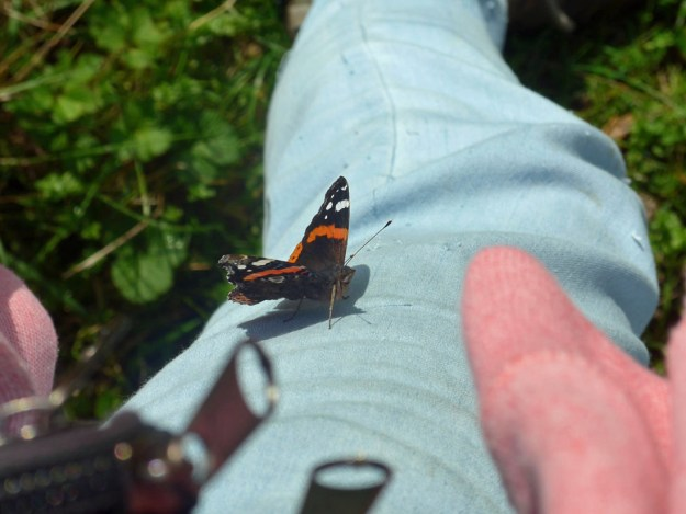 View of black and reddish butterfly with white wing markings resting on the photographers blue trousers.