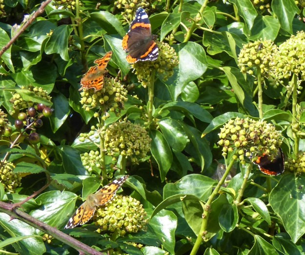 Four butterflies of three species on ivy