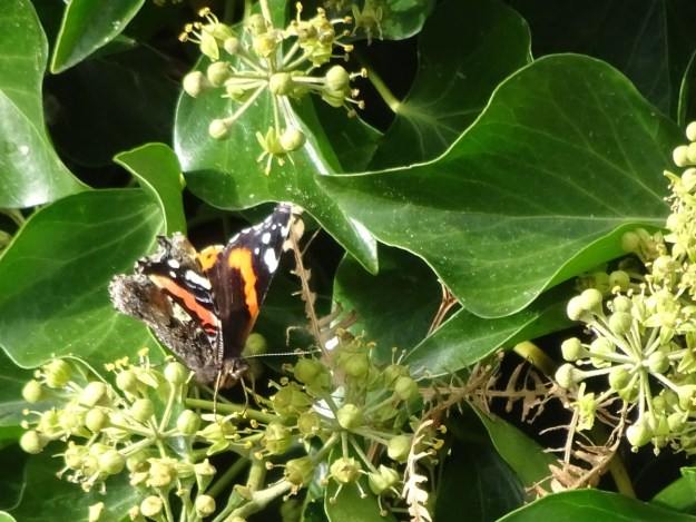 View of black and reddish butterfly with some white wing markings nectaring on Ivy plant flowers.