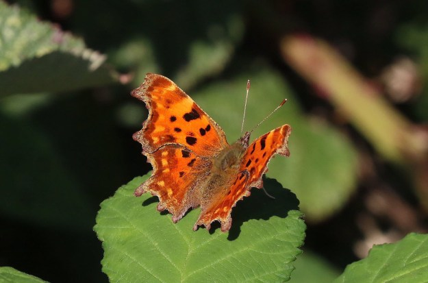 View of an orange butterfly with black spots on a green leaf