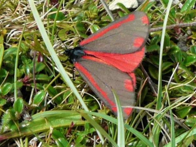 Red Moth with black upperwings showing two red spots on base of wings