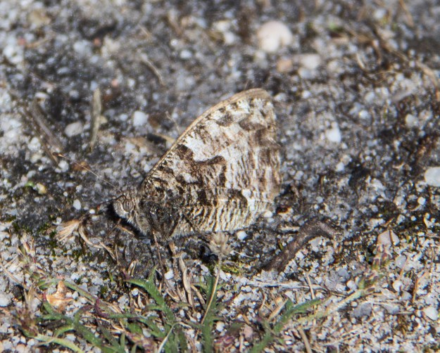 Brown and grey butterfly very well camouflaged against a gravel background