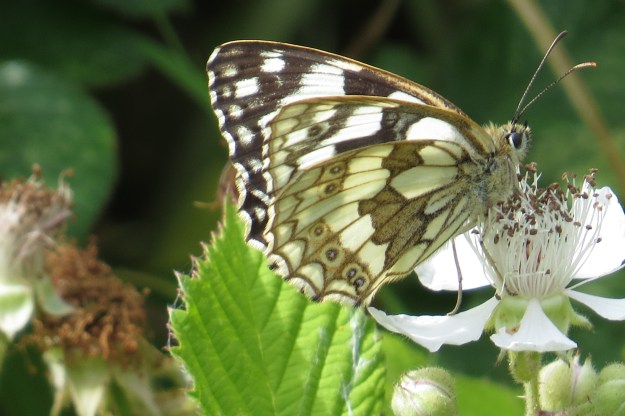 Black and White butterfly showing its brown and white underwing while  nectaring on bramble flowers