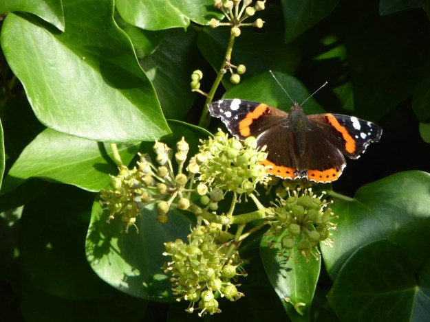 View of reddish orange and black butterfly with some white wing markings nectaring on an Ivy flower.