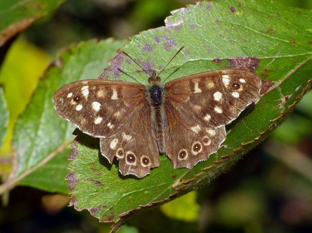 View of chocolate brown butterfly with white and light brown spots on it's wings resting on a green leaf.