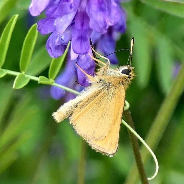Golden moth like butterfly with black tipped antennae on vetch