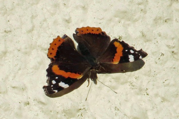 Photo of reddish orange and black butterfly with white markings near the wing tips whilst resting on a wall.