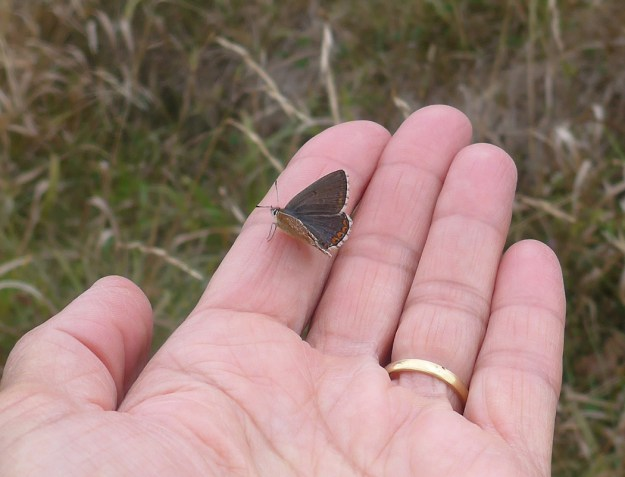 View of dark brown butterfly with orange spots and white fringe to the edges of the wings resting on a hand.