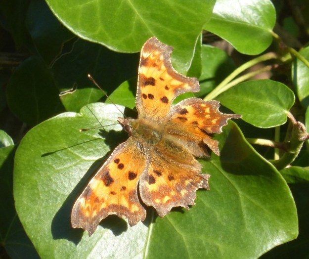 View of orange butterfly with brown/black and yellow markings whilst resting on a green Ivy leaf.