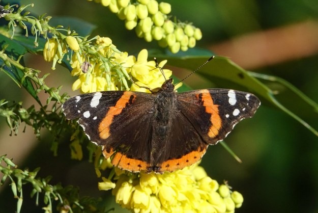 View of black, brown and reddish orange butterfly with white markings to wing tips whilst resting on yellow flower..