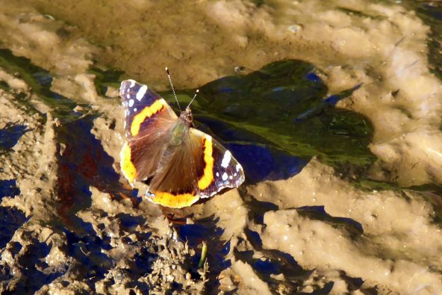 View of reddish orange, brown and black butterfly with white markings on the wingtips resting near a muddy puddle.