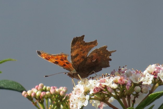 View of orange butterfly with black markings resting on pink and white flower