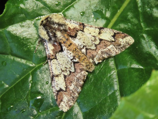 Highly patterned top view of a Brown and cream moth