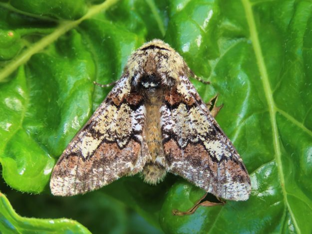 Top view of an Oak Beauty. ighly patterned brown and cream moth