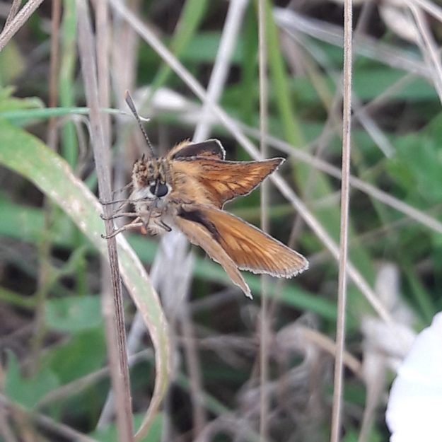 upper and hind wing view of a Female Lulworth Skipper