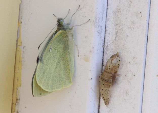 View of a resting greenish white butterfly with its Chrysalis.