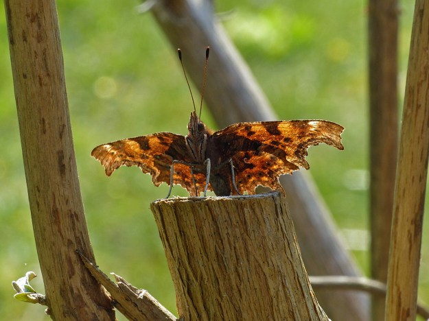 View of the underside of a resting orange butterfly with black markings