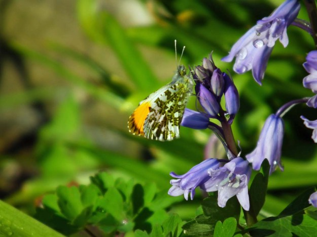 View of a white butterfly with green and orange markings nectaring on a bluebell flower.