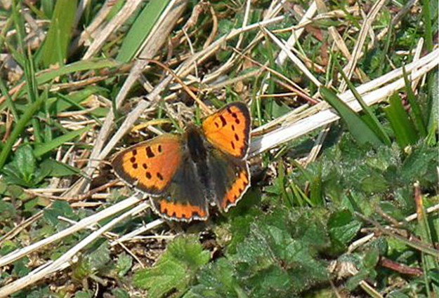View of an orange butterfly with black markings resting on the ground.