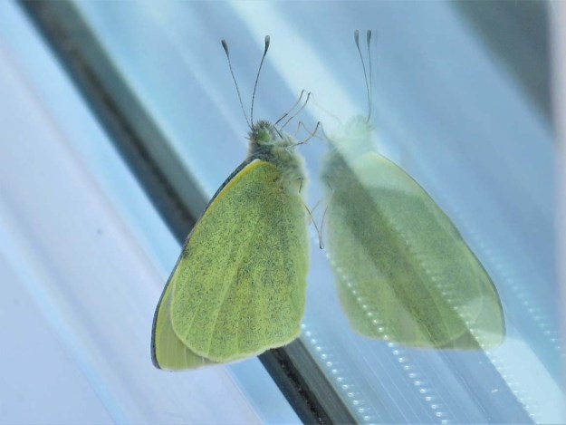 View of a greenish white butterfly on a conservatory roof.
