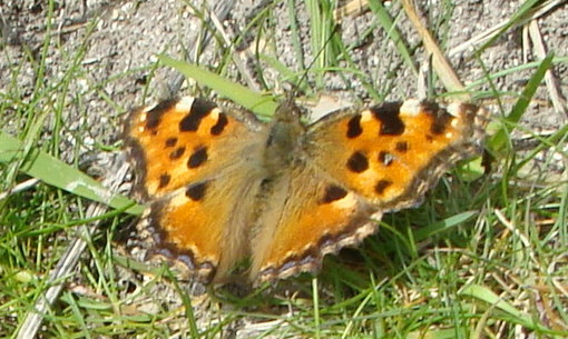 View of an orange butterfly with black, yellow and white marking resting on the ground..