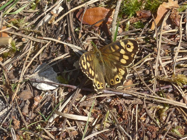 View of a chocolate brown and cream coloured butterfly resting on the ground.
