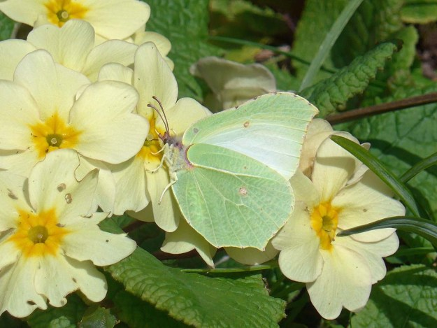 View of a greenish yellow butterfly nectaring on a yellow Primrose.