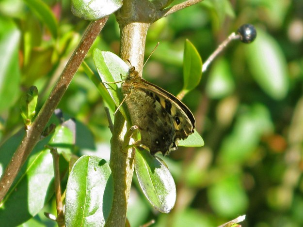 View of chocolate brown butterfly with cream coloured markings resting on a green leaf