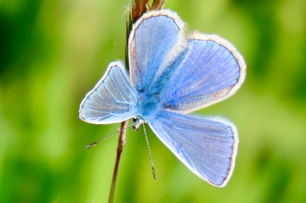 View of a perching blue butterfly with white fringe to its wings